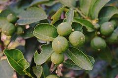 Fruta de la cal; árbol de cal Foto de archivo libre de regalías