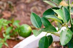 Fruta de la cal, árbol del verde lima Imagen de archivo