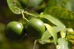Fruta de la cal Foto de archivo libre de regalías