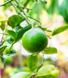 Fruta de la cal Fotografía de archivo