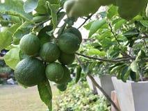 Fruta de la cal Fotografía de archivo libre de regalías