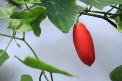 Fruta de la calabaza de la hiedra en árbol Imagen de archivo libre de regalías