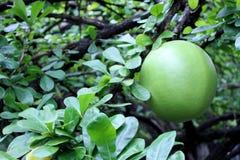 fruta de la calabaza en árbol de calabaza Imagen de archivo
