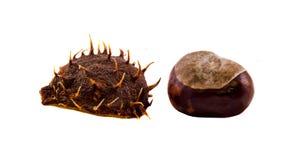 Fruta de la castaña de Brown, cierre para arriba Fotografía de archivo libre de regalías
