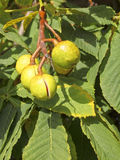 Fruta de la castaña de caballo Imagenes de archivo