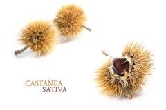 Fruta de la castaña dulce y x28; Sativa& x29 del Castanea; en la cáscara espinosa, clos Fotografía de archivo libre de regalías