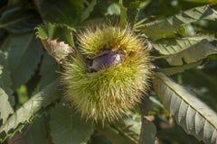 Fruta de la castaña en el árbol foto de archivo libre de regalías