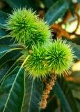 Fruta de la castaña en el árbol imágenes de archivo libres de regalías
