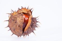 Fruta de la castaña en la cáscara seca aislada en el fondo blanco Foto de archivo libre de regalías