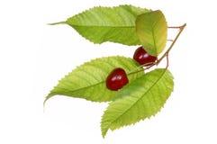 Fruta de la cereza con la hoja Fotografía de archivo libre de regalías