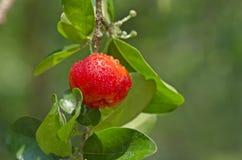 Fruta de la cereza con rocío Fotos de archivo libres de regalías