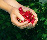 Fruta de la cereza dulce foto de archivo libre de regalías