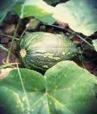 fruta de la cosecha del perno de la sandía Fotos de archivo