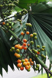 Fruta de la fan de la palma Imagen de archivo