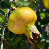 Fruta de la granada Imagen de archivo libre de regalías