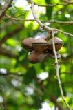 Fruta de la haba de Luk Nieng - de Djenkol Fotos de archivo