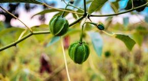 Fruta de la mandioca fotografía de archivo