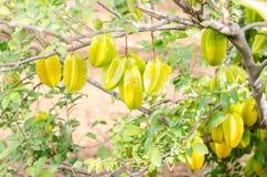 Fruta de la manzana de estrella en el árbol Fotografía de archivo libre de regalías