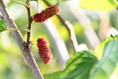 Fruta de la mora en árbol Imagen de archivo