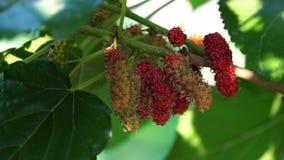 Fruta de la mora en el ?rbol almacen de metraje de vídeo