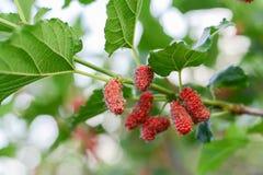Fruta de la mora roja en el árbol, baya en granja fotos de archivo