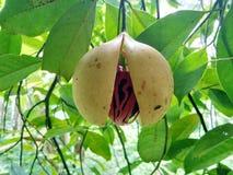 Fruta de la nuez moscada moscada fotografía de archivo