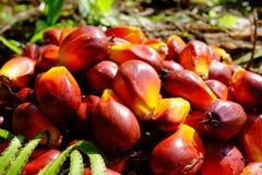 Fruta de la palma Foto de archivo