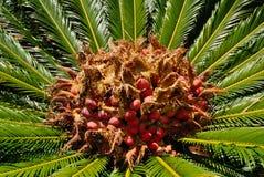 Fruta de la palma Fotos de archivo