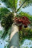 Fruta de la palma de la cola del zorro foto de archivo