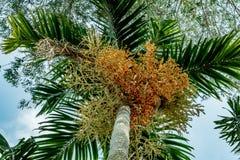 Fruta de la palma de la cola del zorro foto de archivo libre de regalías