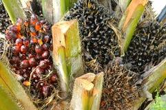 Fruta de la palma de aceite Imagen de archivo