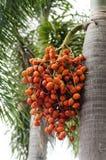 Fruta de la palma de betel Imagen de archivo