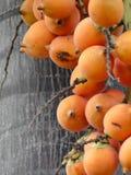 Fruta de la palma de la cola de zorra Imágenes de archivo libres de regalías
