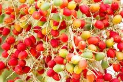Fruta de la palma de la Navidad Foto de archivo libre de regalías