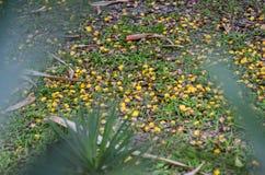 Fruta de la palma del Pandanus en la tierra Fotos de archivo