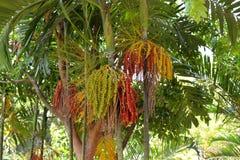 Fruta de la palma real Fotografía de archivo libre de regalías