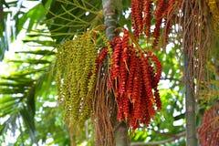 Fruta de la palma real Imagen de archivo libre de regalías