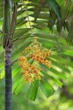 Fruta de la palma real Fotos de archivo