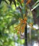 Fruta de la palma real Fotos de archivo libres de regalías