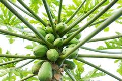 Fruta de la papaya de la papaya Imágenes de archivo libres de regalías
