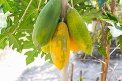 Fruta de la papaya en tronco de árbol Fotos de archivo