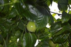 Fruta de la pasión imagen de archivo libre de regalías
