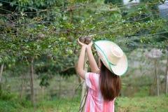 Fruta de la pasión asiática joven de la cosecha de la mujer Fotos de archivo
