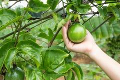 Fruta de la pasión en árbol imágenes de archivo libres de regalías
