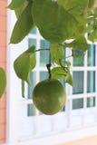 Fruta de la pasión verde Imágenes de archivo libres de regalías
