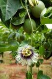 Fruta de la pasión, vitamina C, comida sana, passionfruit Imagen de archivo libre de regalías