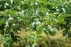 Fruta de la pasión, vitamina C, comida sana, passionfruit Imagen de archivo