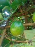 Fruta de la pasi?n imagenes de archivo