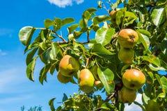Fruta de la pera en el árbol en el cielo azul fotos de archivo