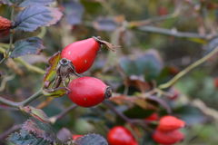 fruta de la Perro-rosa Imagen de archivo libre de regalías